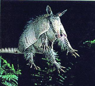 Hoppingarmadillo_crop